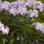 Cotton Candy™ Phlox
