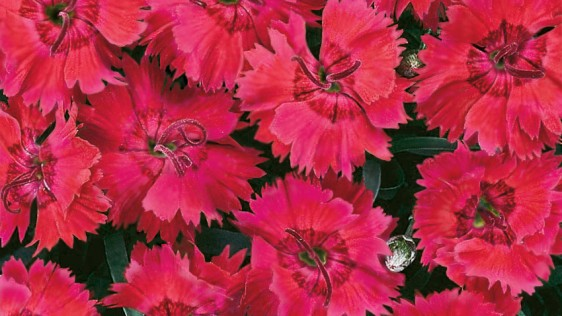 Dianthus Star™ Single Fire Star