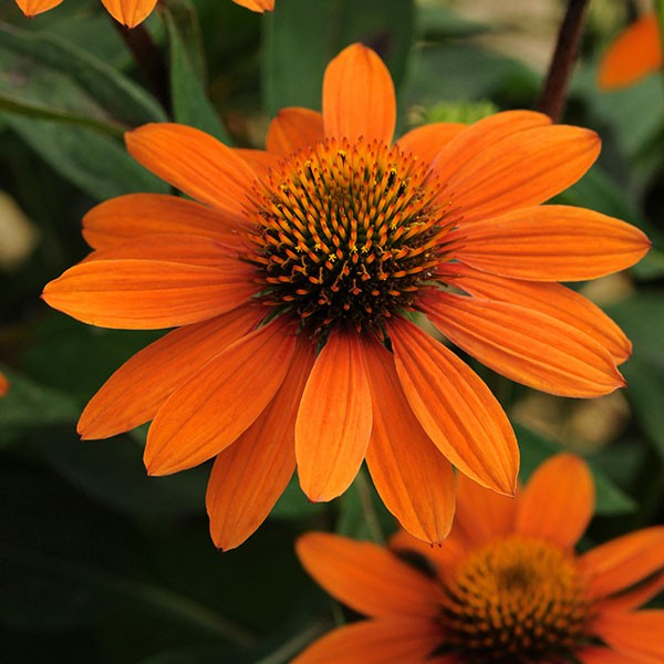 Echinacea × hybrida Sombrero® Adobe Orange