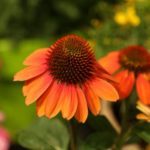 Echinacea × hybrida Sombrero® Flamenco Orange