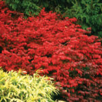 Euonymus alatus Fire Ball® Burning Bush