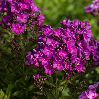 Grape Lollipop™ Phlox