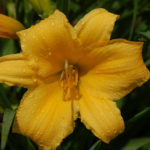 Hemerocallis 'On Top'