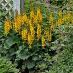 Ligularia 'The Rocket'