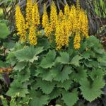 Ligularia Bottle Rocket