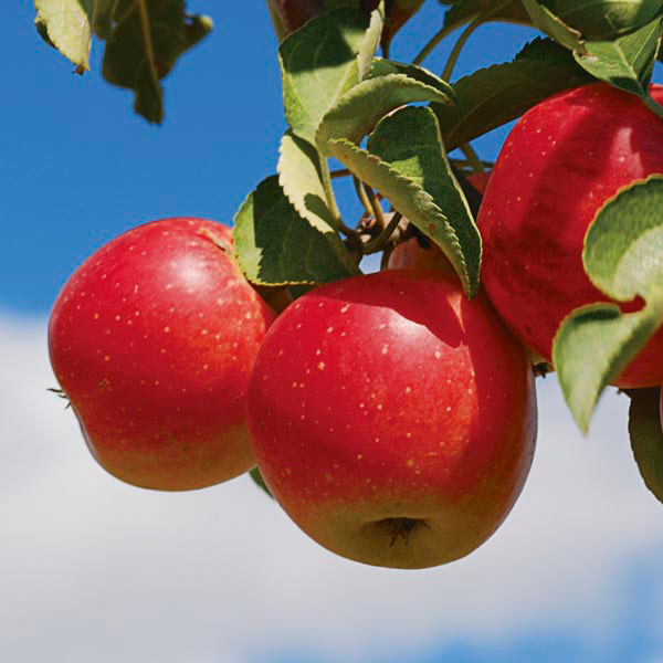Malus 'Haralred'- HARALRED APPLE