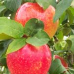 Malus 'Minnewashta' - Apple, Zestar!®