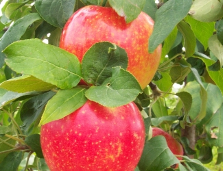 Malus 'Minnewashta' – Apple, Zestar!®