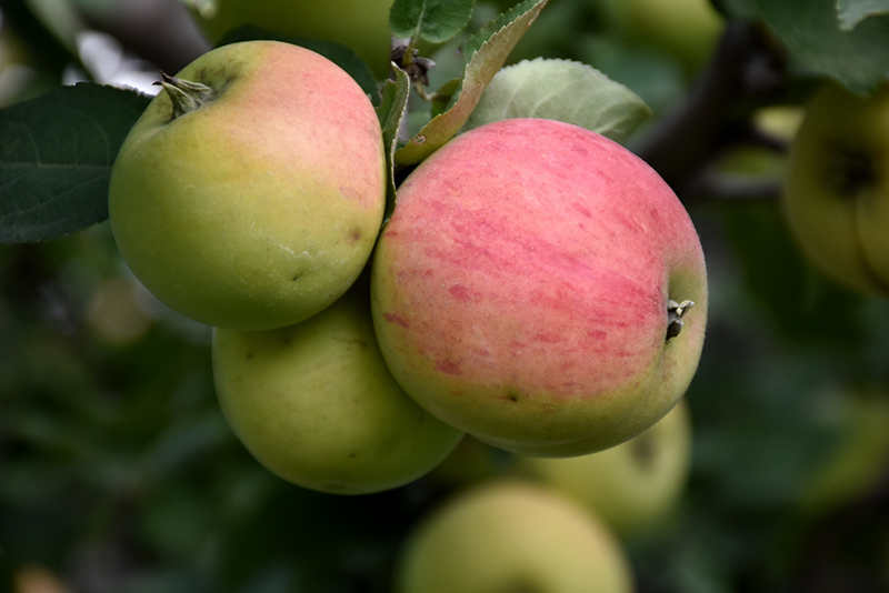 Malus 'Norland' Apple