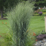 Panicum Prairie Winds Totem Pole