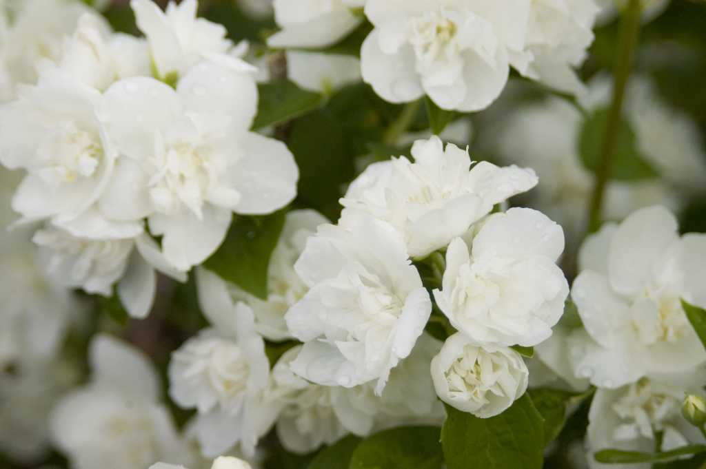 Philadelphus Snow White