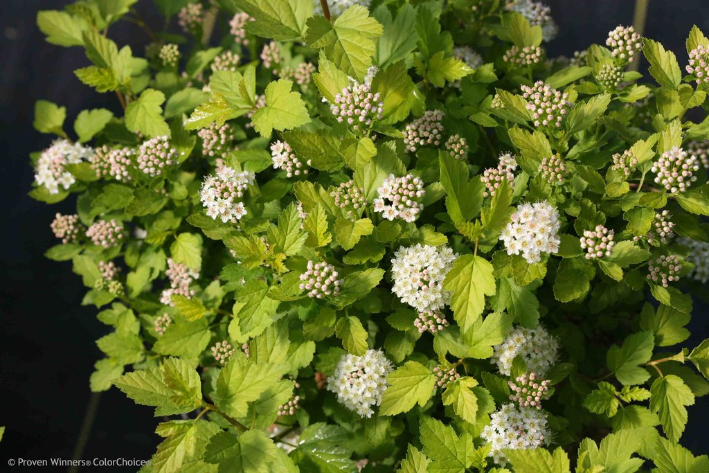 Physocarpus opulifolius – Tiny Wine® Ninebark