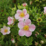 Potentilla fruticosa - Happy Face® Pink Paradise