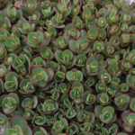 Sedum SUNSPARKLER® 'Lime Zinger'