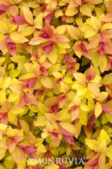 Spiraea japonica 'Walbuma' MAGIC CARPET