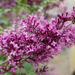 Syringa x - Bloomerang® Dark Purple Reblooming Lilac