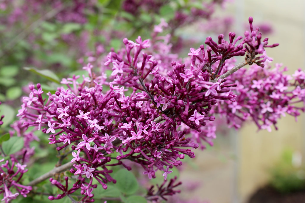 Syringa x – Bloomerang® Dark Purple Reblooming Lilac