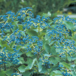 Viburnum dentatum Blue Muffin® Arrowwood Viburnum