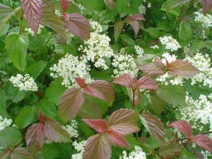 Viburnum dentatum 'Red Feather®'