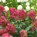 fire_light_hydrangea-2