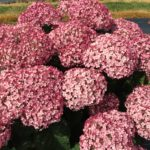 incrediball_blush_hydrangea_blooms