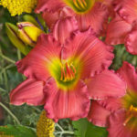 Hemerocallis Passionate Returns