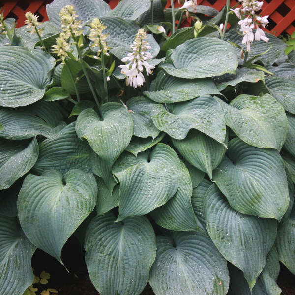 Hosta x 'Blue Angel'
