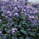 Polemonium 'Bressingham Purple',