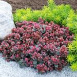 Sedum SunSpark Dazzleberry