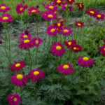 Tanacetum Rob Dk Red