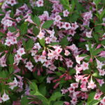 sonic_bloom_pure_pink_weigela_2