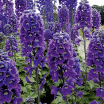 Delphinium 'Magic Fount. Dark Blue