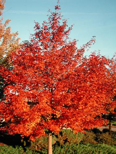 Acer truncatum x A. platanoides 'Warrenred' (Pacific Sunset Maple)