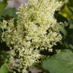 Snowdance Japanese Tree Lilac
