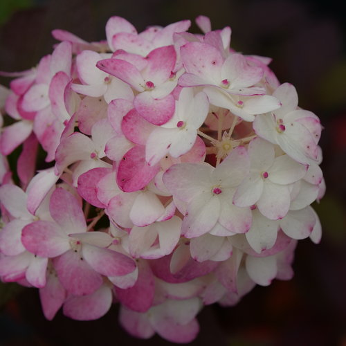 Hydrangea Fire Light Tidbit