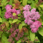 Spiraea japonica Double Play® Big Bang 'Tracy'