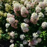 TICKLED PINK PANICLE HYDRANGEA
