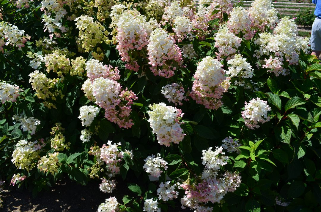 TICKLED PINK® PANICLE HYDRANGEA