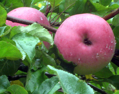 Malus 'Wolf River'- WOLF RIVER APPLE