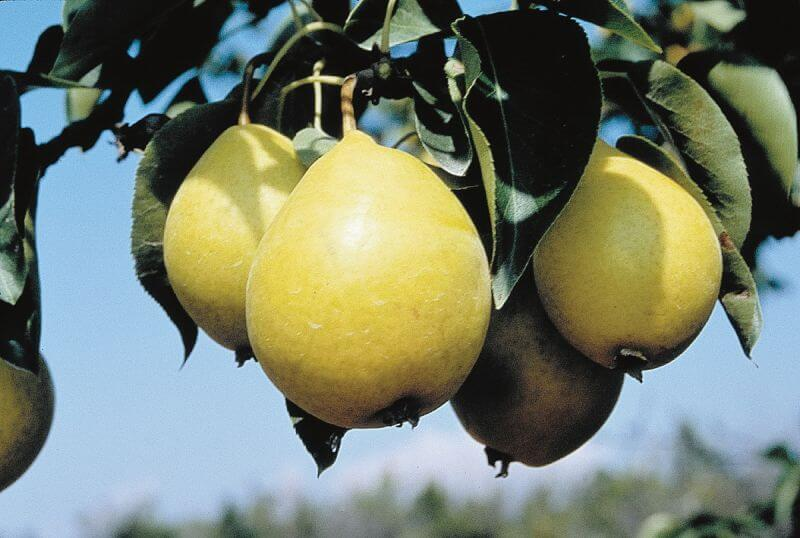 Early Gold Pear