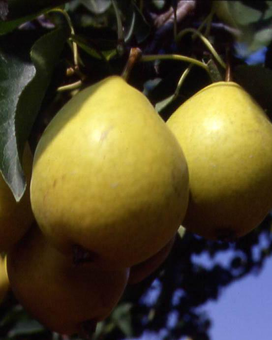 Pyrus ussuriensis 'Early Gold'